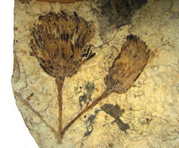 Why Christmas Love Letters led to the discovery of the earliest flowers on Earth   Geology   Scoop.it