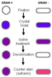 Small Things Considered: The Gram Stain: Its Persistence and Its Quirks | Biology & Biotech baubles | Scoop.it
