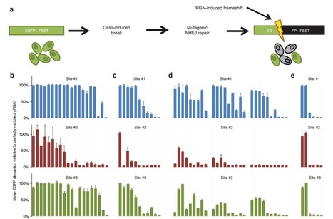 High-frequency off-target mutagenesis induced by CRISPR-Cas nucleases in human cells | Genome Engineer | Scoop.it