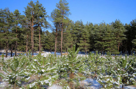 Oldest Pine Tree Fossils Discovered : DNews | Sustainable Forestry | Scoop.it