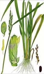 Lemongrass: Potential Antidepressant Herbal Ingredient with Antioxidant Activity | Herbs & Spices | Scoop.it