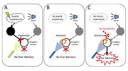 Shedding new light on the formation of emotional fear memories | RIKEN | Social Neuroscience Advances | Scoop.it