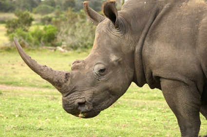 Fake rhino horn lands man in trouble | The Herald | Kruger & African Wildlife | Scoop.it