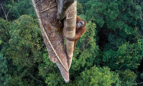 A peaceful photo of an orangutan has a worrying backstory about global warming | Oceans and Wildlife | Scoop.it