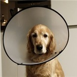 The Dreaded E-Collar: Why It's Your Best Bet for Wound Care | Pedegru | Animals Make Life Better | Scoop.it