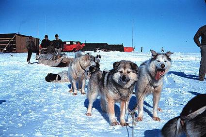 Dogs in Antarctica - Huskies   Antarctica   Scoop.it