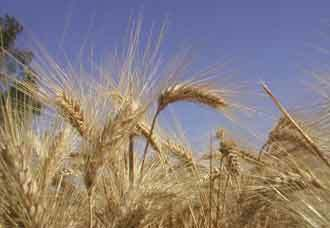 FAO slashes grain forecasts, world food prices stay high | Food Security | Scoop.it