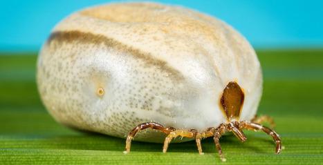 Catalyst: Tick allergy - ABC TV Science | Alpha-Gal | Scoop.it