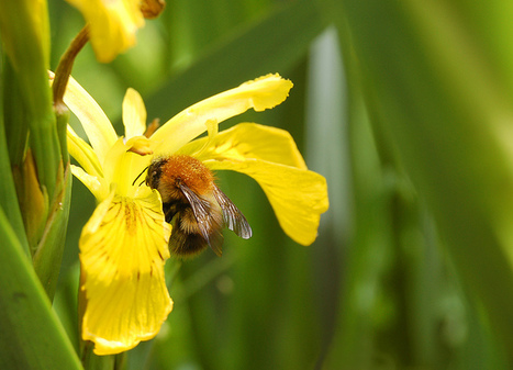 Fascinating wildlife fact #19: bumblebees are warm blooded | GarryRogers NatCon News | Scoop.it