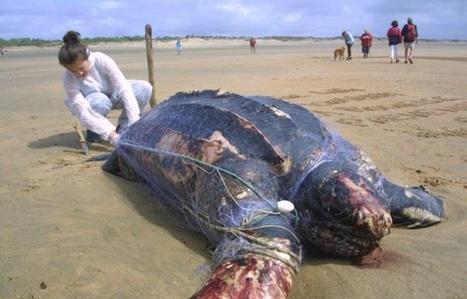 Aude: Deux tortues menacées d'extinction, dont l'une de 200 kg, s'échouent à Leucate | Zones humides - Ramsar - Océans | Scoop.it