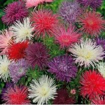 Reine marguerite - Unicum varié | Fleurs - Inspiration | Pinterest | planter des bulbes | Scoop.it
