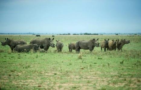 Le commerce de corne de rhinocéros en Afrique du Sud validé par la justice | Biodiversité | Scoop.it