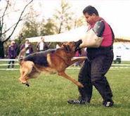 "German Shepherds Schutzhund/Protection Dogs For Sale | ""Professional German Shepherd Puppy Breeder Directory"" | Scoop.it"