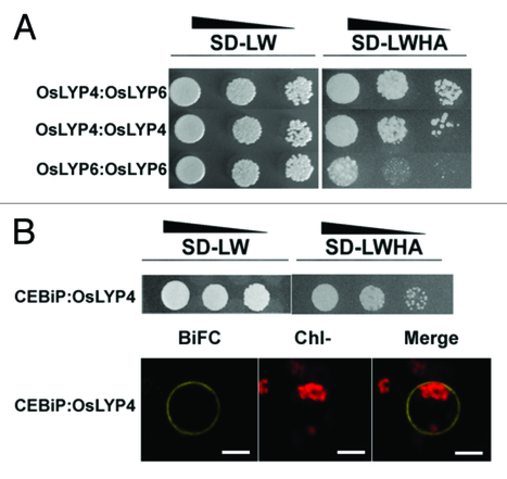 OsLYP4 and OsLYP6 play critical roles in rice defense signal transduction | Rice Blast | Scoop.it