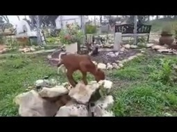 Little Baby Goats wanna Play | Very Cute and a bit Funny Video | Education | Scoop.it