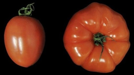 Scientists find way to create supersized fruit | Agricultural Research | Scoop.it