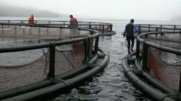 ISA Confirmed at Gray Aqua Group Farm   Aquaculture Directory   Aquaculture   Scoop.it