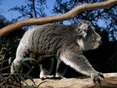Le koala peut-il sauver le climat ? - Sircome | La communication des ong et associations | Scoop.it