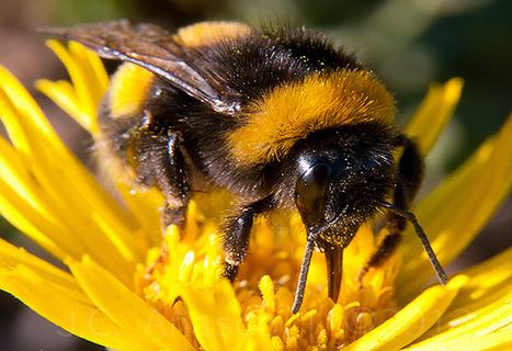 Chile: Especie de abeja introducida se convierte en agresiva invasora en America del Sur | Agua | Scoop.it