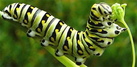 Amazing: Butterflies Remember Their Caterpillar Days | Amazing Science | Scoop.it