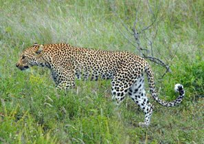 Kruger Park Sightings: Cats: The Big & Small | Kruger & African Wildlife | Scoop.it