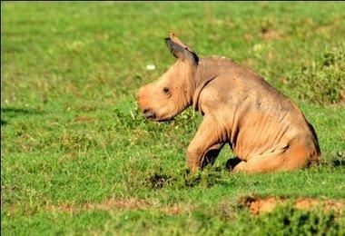 Helping Rhinos - Rhino Conservation to save the rhino | Rhino poaching | Scoop.it
