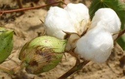 Bt COTTON IN BURKINA FASO - African Biosafety Network of ... | Stop GMOs in Africa | Scoop.it