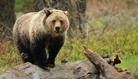 Yellowstone Grizzly Bears By the Numbers | AmeriKat | Scoop.it