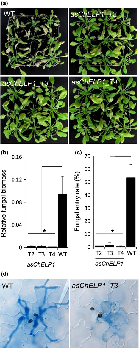 New Phytologist: Colletotrichum higginsianum extracellular LysM proteins play dual roles in appressorial function and suppression of chitin-triggered plant immunity | My papers | Scoop.it