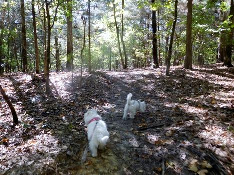 Arboretum to Rez:  a dandy excursion | West Highland White Terrier | Scoop.it