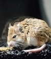 Grasshopper mice immune to pain and scorpion venom | biology | Scoop.it