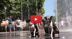 Summertime Fun of Three Boston Terriers in Water Fountains (Video) | Boston Terrier Dogs | Scoop.it