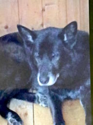 "LOST DOG: Lynwood Dr., Admiral Rock, Hants Co., NS — German Shepherd/Black Lab Mix, Male, 6 years — ""Buzz"" 