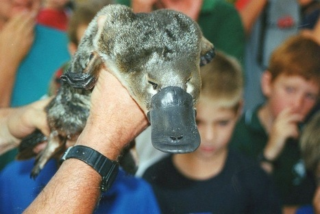 Platypus: The duck-billed, egg-laying mammal | Strange Animals | Adaptations for survival | Scoop.it