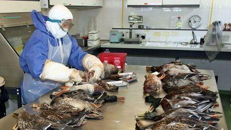 Grippe aviaire: des élevages d'oies et de canards à vider d'ici avril | Toxique, soyons vigilant ! | Scoop.it