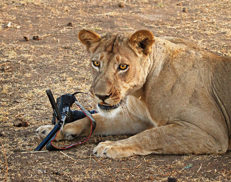 Photographer Has His Canon 5D Mark II Kidnapped and Killed by a Lion - PetaPixel | AlyssaBrandtPhotography | Scoop.it