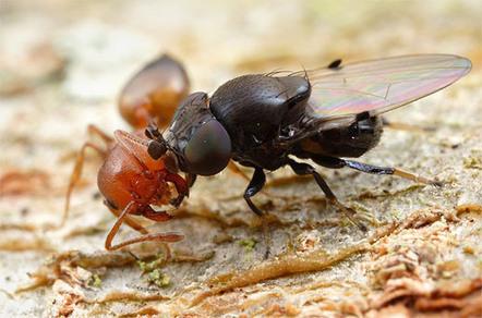 Curieuses antennes : la mouche agresseuse de fourmis et la larve d'un moucheron fantôme | EntomoNews | Scoop.it