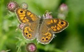 'Final warning' decline in butterflies raises fears over pesticides | Epicurist: In Victus Veritas | Scoop.it