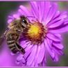 les abeilles de picardie