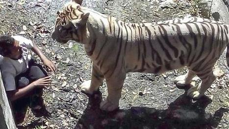 White tiger kills zoo visitor who fell into enclosure | Animal Management | Scoop.it
