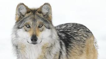 Wolf from Brookfield Zoo sent to New Mexico to be prepared for release - Chicago Tribune | Oceans and Wildlife | Scoop.it