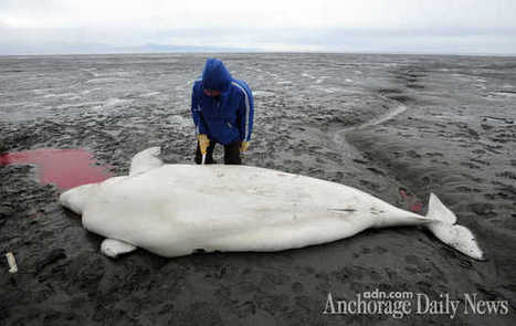 #Beached #belugaWhales ~ graphic! as Scientists examine cause. #AnchorageCoast | Rescue our Ocean's & it's species from Man's Pollution! | Scoop.it