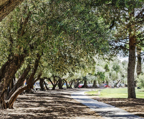 Street Smarts: Here's who to thank — or curse — for Tucson's olive trees | Arizona Daily Star | CALS in the News | Scoop.it