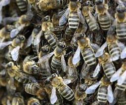 EU policy is driving up demand for pollination faster than honeybee numbers | Sustain Our Earth | Scoop.it