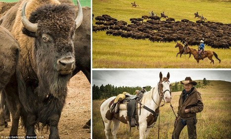 Honored cowboys carry out the annual Custer State Park herding of buffalo | Horse and Rider Awareness | Scoop.it