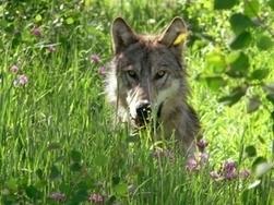 Yellowstone : le retour du loup bénéfique pour la croissance des arbres | écolo | Scoop.it