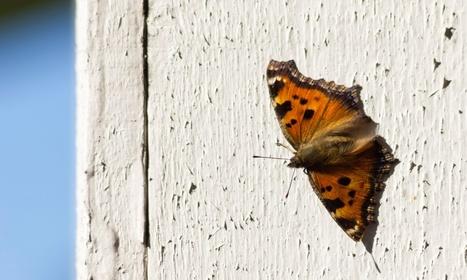 Un papillon, la Vanesse du saule, a hiverné pour la première fois en Grande-Bretagne | EntomoNews | Scoop.it