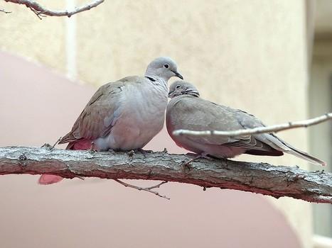 Photos d'oiseaux : Tourterelle turque - Streptopelia decaocto - Columba risoria decaocto - Eurasian collared-dove | Fauna Free Pics - Public Domain - Photos gratuites d'animaux | Scoop.it