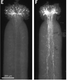 The Papaver rhoeas S determinants confer self-incompatibility to Arabidopsis thaliana in planta | Emerging Research in Plant Cell Biology | Scoop.it