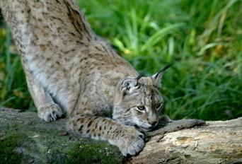 Vivre avec les grands prédateurs | Vosges | Scoop.it